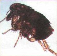 Взрослая особь кошачьей блохи (Ctenocephalides felis), вид сбоку