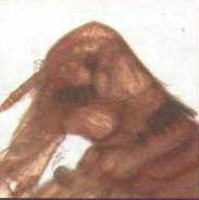 Голова кроличьей блохи (Spilopsillus cuniculi)