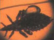 Кровососущая вошь Linognathus spp. Linognathus setosus отличается удлиненной головой, паразитирует на собаках.