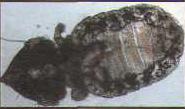 Взрослая вошь Felicola subrostratus - единственный вид вшей, обитающий на кошках. Относится к кусающим вшам (обратите внимание на характерную широкую форму головы).