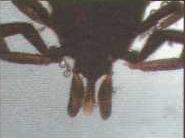 Ротовой аппарат клеща, состоящий из латеральных антенн, центрального гипостшха и хелицеры.