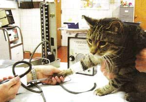 Определение кровяного давления в плечевой артерии у домашней кошки посредством допплеровского ультразвукового исследования