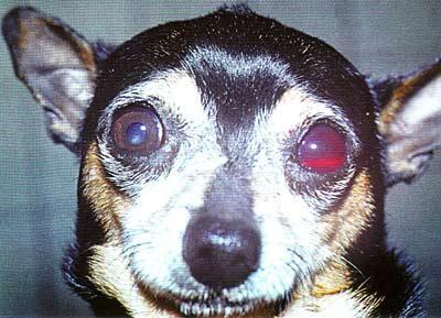Травматическая глаукома у собаки вследствие контузии глаза. ВГД 34 мм