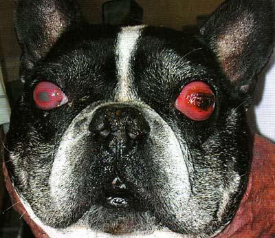 Аутоимунный панофтальмит на фоне терминальной глаукомы