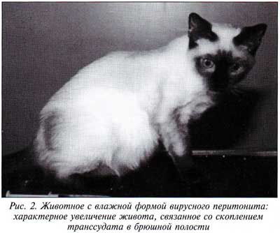 Инфекционный перитонит (FIP) у кошек