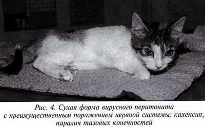 сухая форма вирусного перитонита кошек