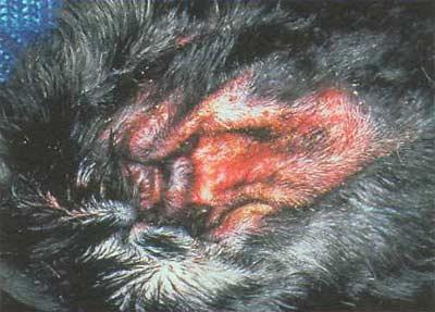 Зудневая чесотка у собак: симптомы и лечение